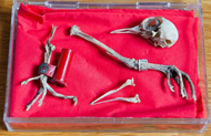 Skeletal remains of WWII carrier pigeon