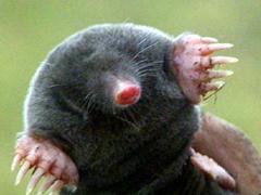 Cute mole (animal)
