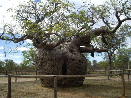 The Boab Prison Tree in Australia was used in the 1890's to lockup prisoners being transported to nearby Derby