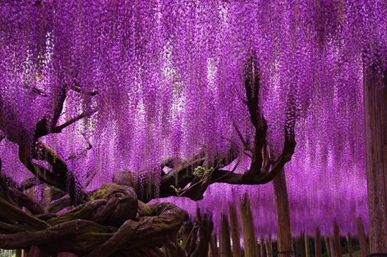 """This tree, known as the """"most beautiful in the world"""", is the main attraction in the Ashikaga Flower Park in Tochigi, Japan"""