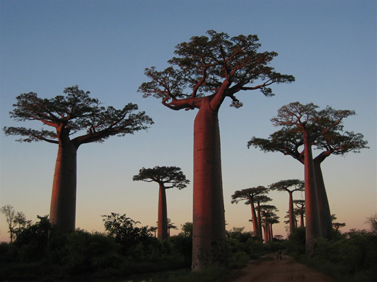 Boabab trees in Madagascar are the nation's national tree