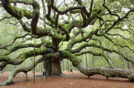The Angel Oak Tree in Angel Oak Park near Charleston, South Carolina.  Estimate to be 400-500 years old