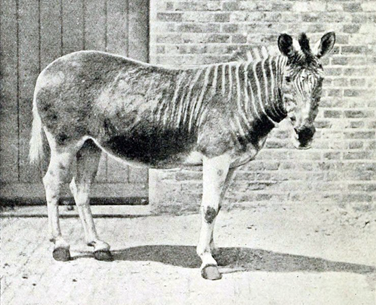 Extremely rare photograph of a Quagga
