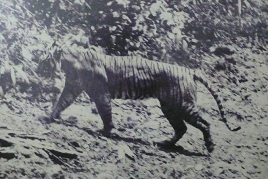 Rare photograph of a Javan Tiger