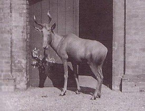 Rare photograph of a Bubal Hartebeest