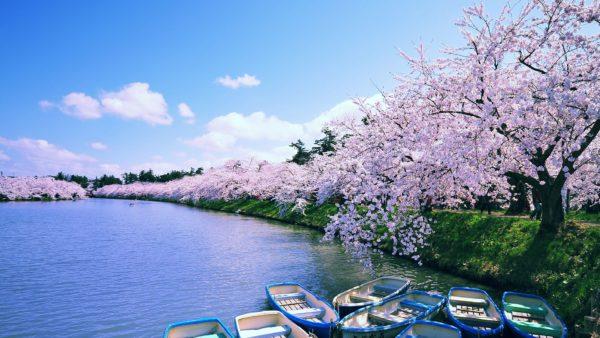 sakura cherry blossoms and moat hirosaki aomori japan